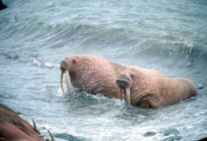 Walrus to the rescue